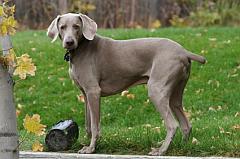 Cute Weimeraner Dog
