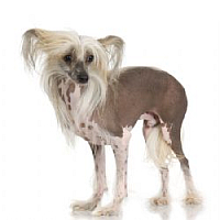 chines crested