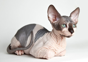 AP-BAKLFT_Sphynx_Cat