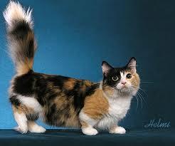 Munchkin Cat2