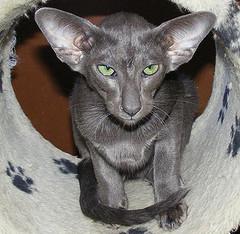 Oriental_Shorthair_cat_byDekejis