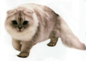 Scottish Fold10