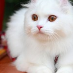 american-curl-catcat-breeds-images-and-information-f4ocfun0