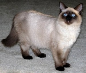 balinese-cat-facts1[1]