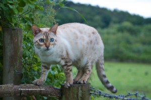 snow-bengal-cat-010[1]