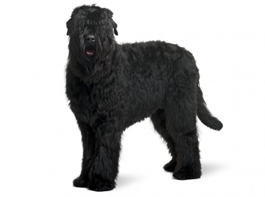 sacbr co za: Black Russian Terrier